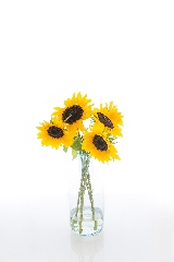 June Houseplant of the month - Sunflower